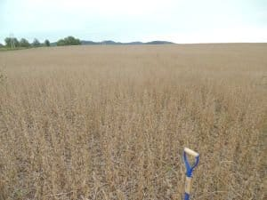 actual view of soybean field