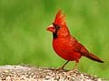 The state bird of Indiana is the Northern cardinal (Cardinalis cardinalis)