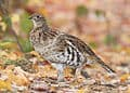 The state bird of Pennsylvania is the Ruffed grouse (Bonasa umbellus)
