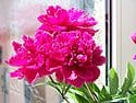 The state flower of Indiana is the Peony (Paeonia)