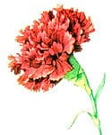 The state flower of Ohio is the Scarlet carnation (Dianthus caryophyllus)