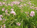 The state beautification and conservation plant of Pennsylvania is the Penngift crown vetch (Coronilla varia)