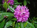 The state flower of West Virginia is the Rhododendron (Rhododendron maximum)