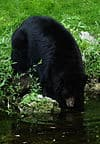 The state mammal of West Virginia is the Black bear