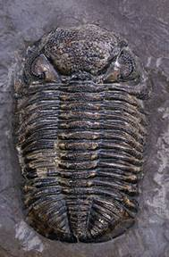 The state fossil of Pennsylvania is the Trilobite (Phacops rana) - Devonian