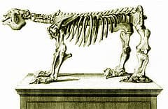 The state fossil of West Virginia is the Jefferson's ground sloth (Megalonyx jeffersonii) - Late Pleistocene